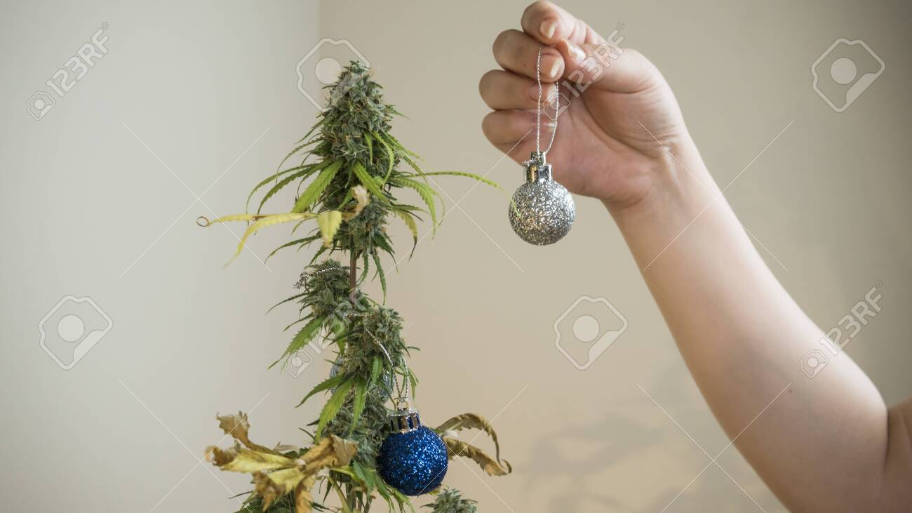 The Young Person Decorates Medical Marijuana Plant Growing Indoor Stock Photo Picture And Royalty Free Image Image 136051017