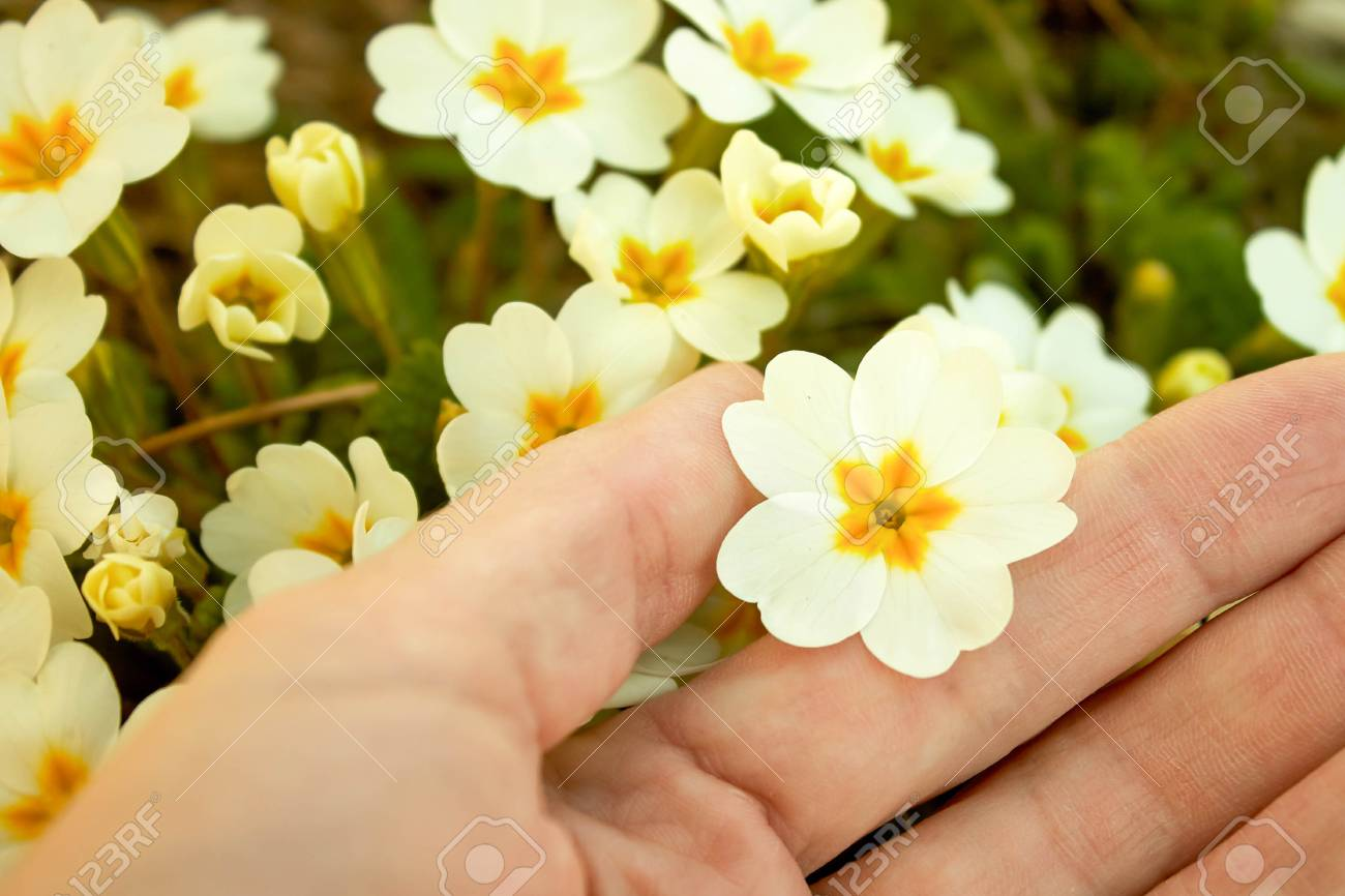 White Flowers With A Primrose Yellow Center On Hand Closeup On