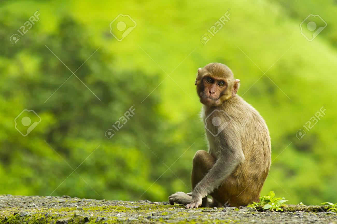 Verführerisch Haustier Affe Galerie Von Affe, Der Auf Straßenrandwand In Varandha Ghat,