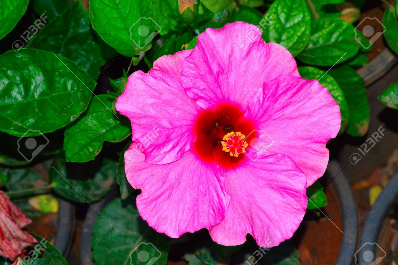 Close view of pink hibiscus flower at pune stock photo picture and close view of pink hibiscus flower at pune stock photo 97894367 izmirmasajfo
