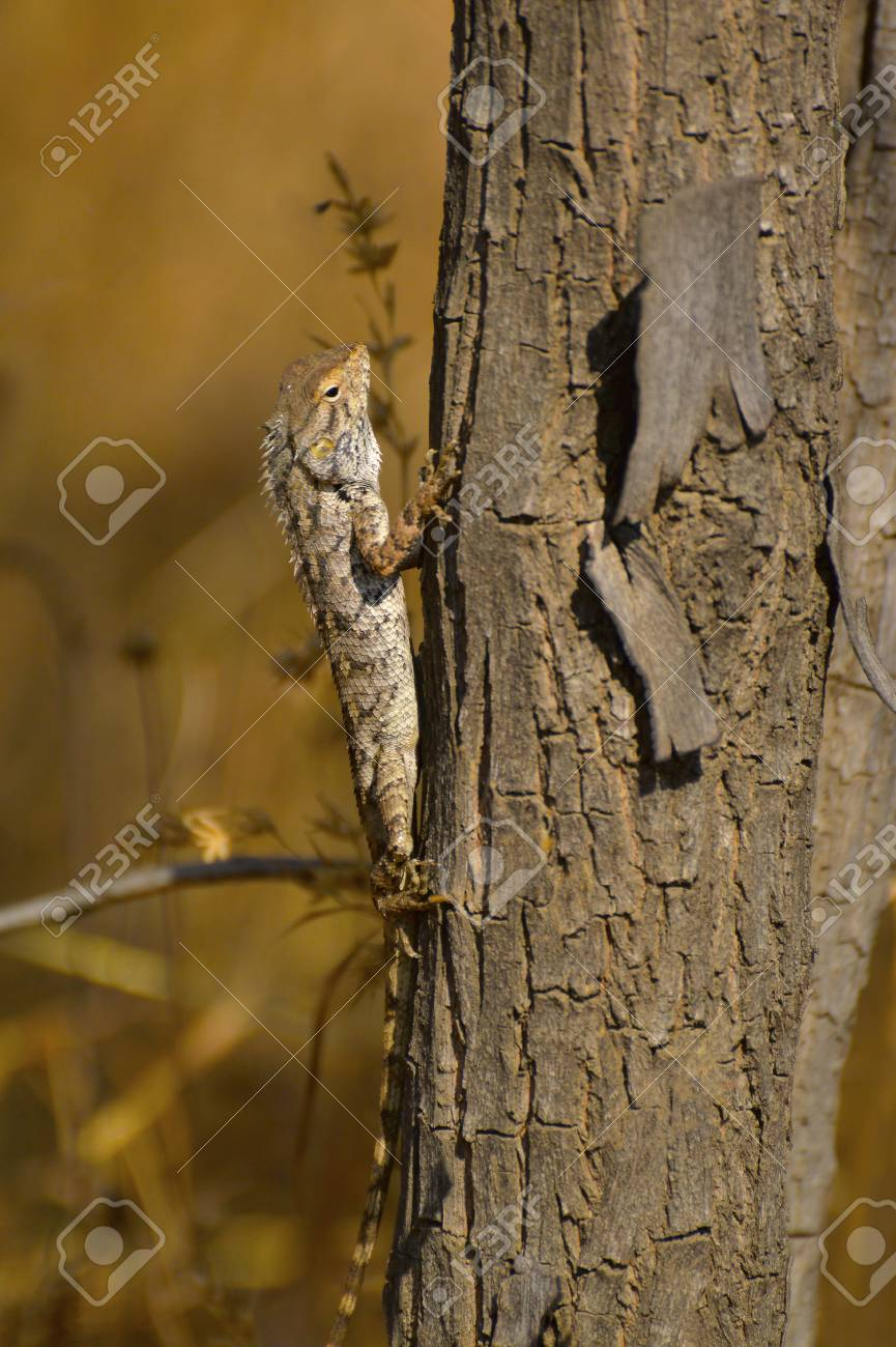 Oriental Garden Lizard, Calotes Versicolor On A Tree Trunk At ...