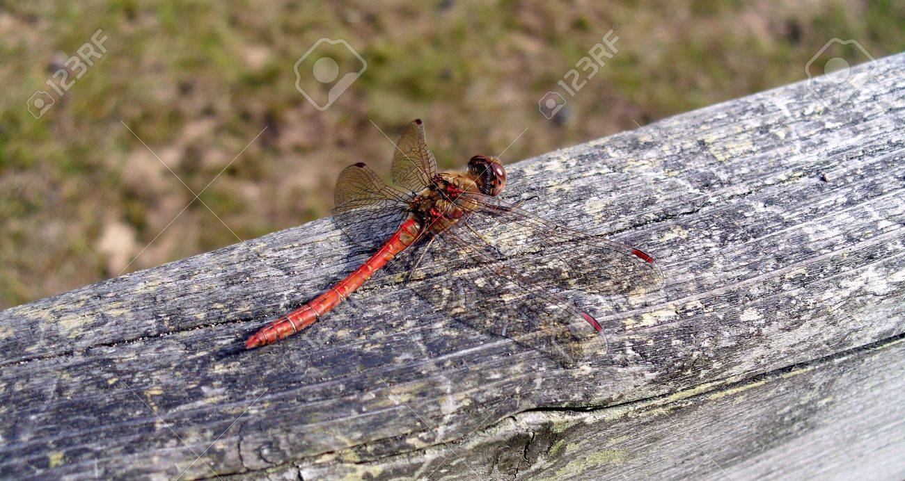 A Red-Veined Darter British Dragonfly on Wood Stock Photo - 78701835