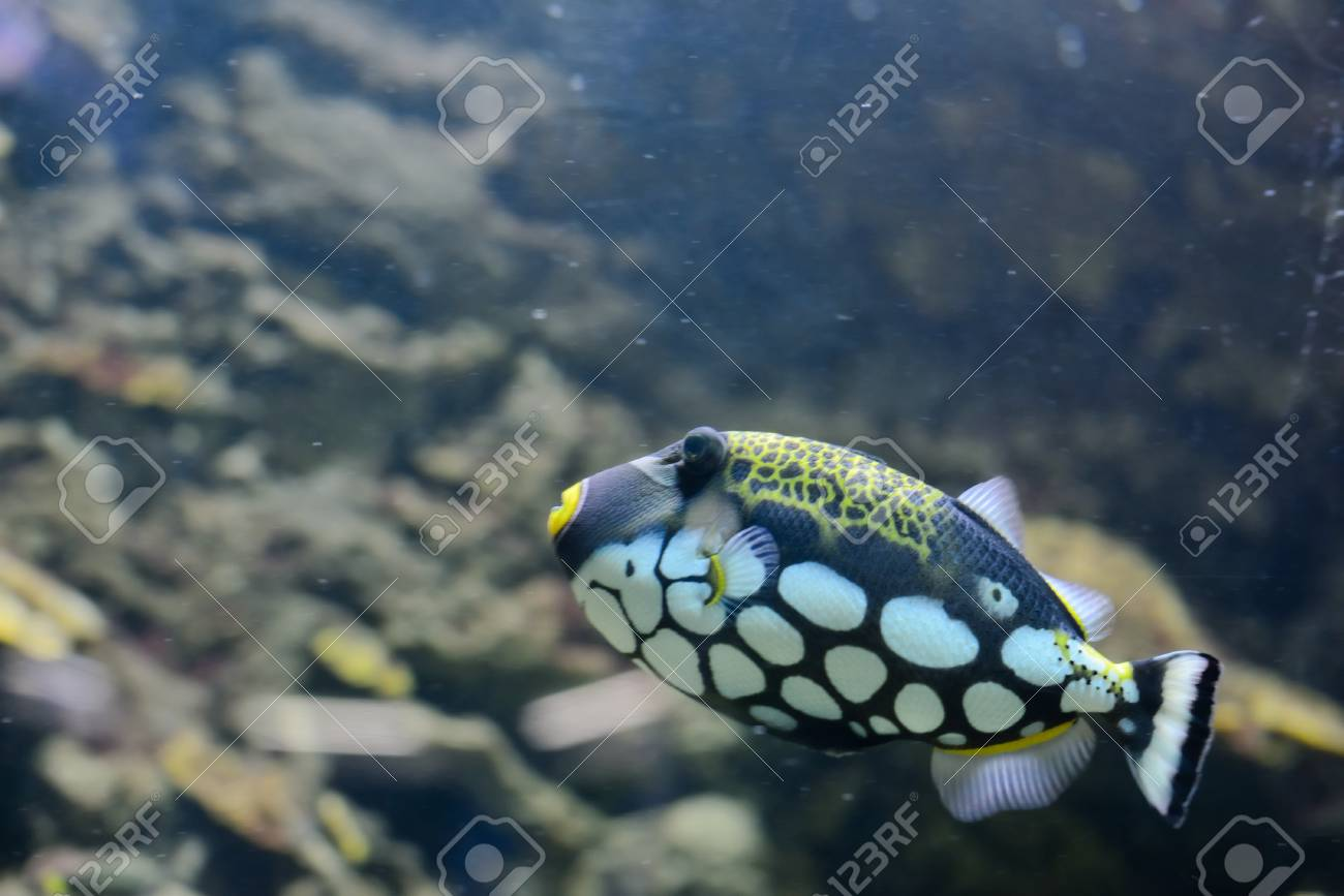Clown Trigger in the water Stock Photo - 27455704