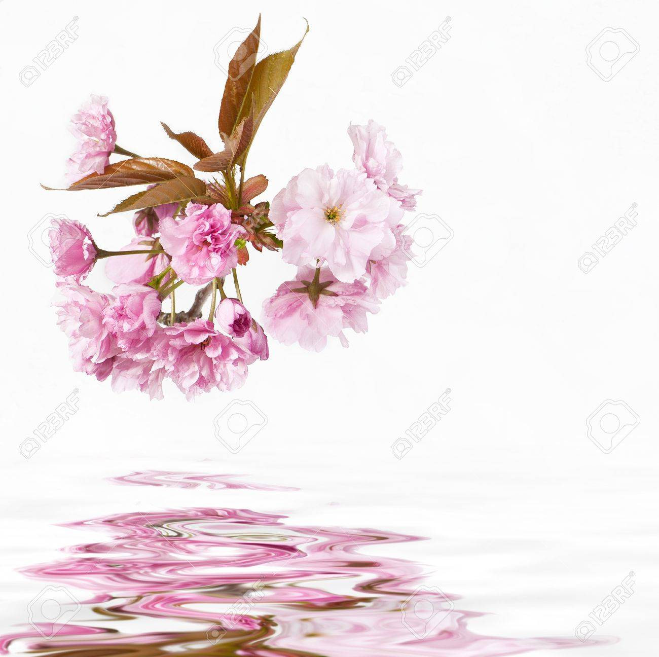 cherry blossoms over water square Stock Photo - 9975356