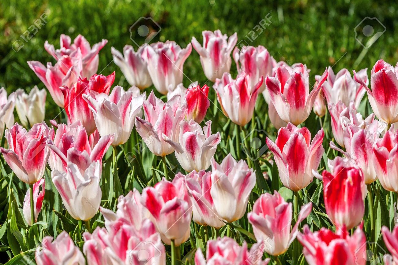 white pink tulips in full bloom. Annual tulip festival in Istanbul. Emirgan Park - 160845264