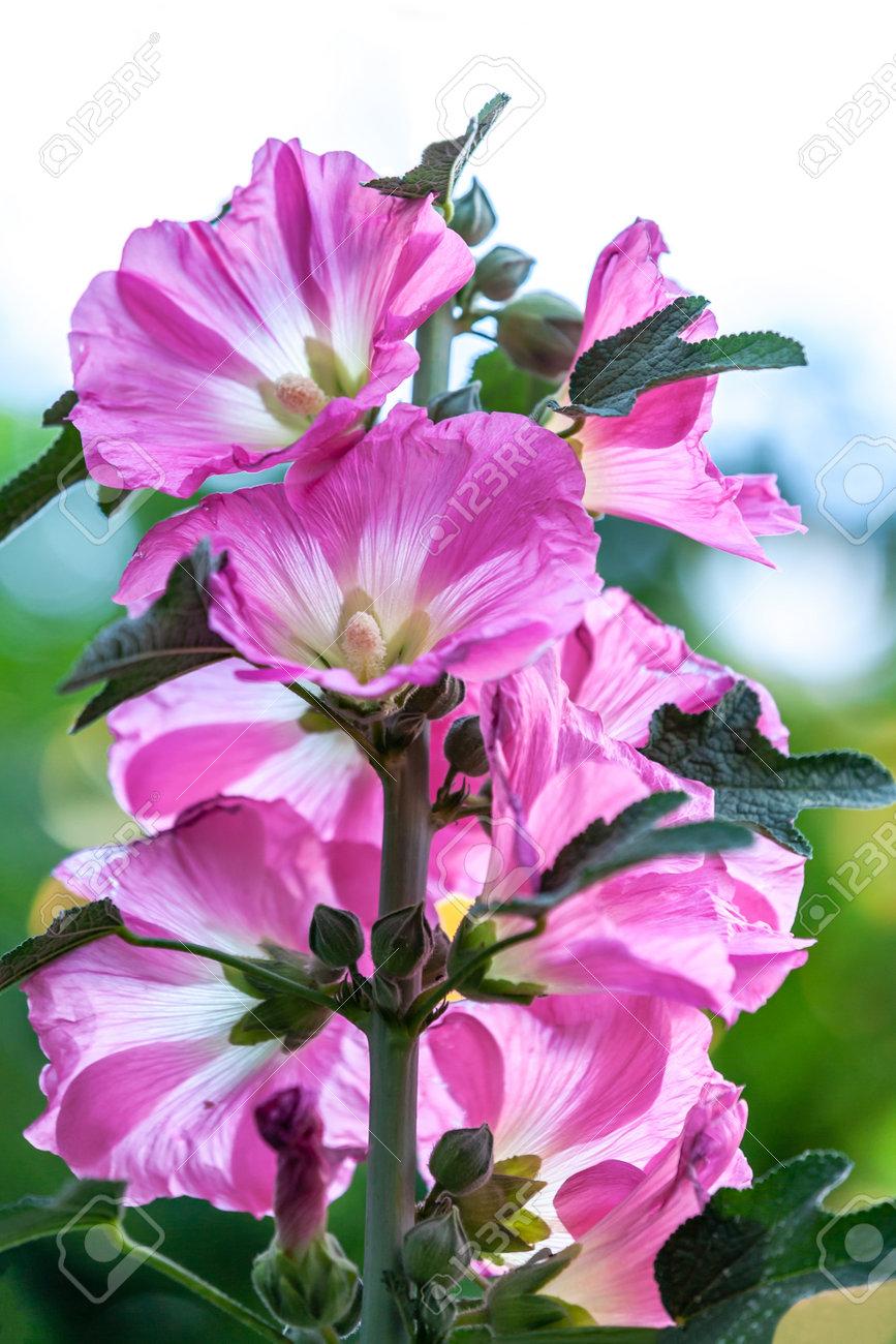 Alcea rosea, pink Hollyhock flowers and buds - 162319074
