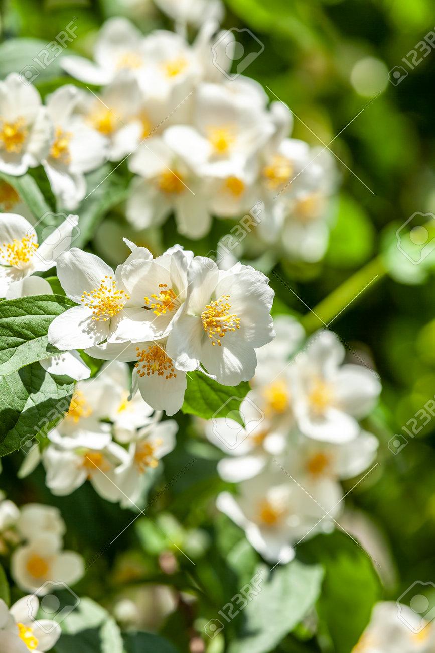in springtime jasmine tree, background bokeh closeup - 162319070