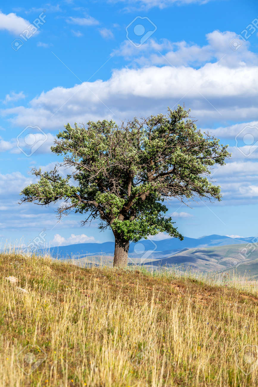 Old wild pear tree growing on top of hill under blue sky - 162919056