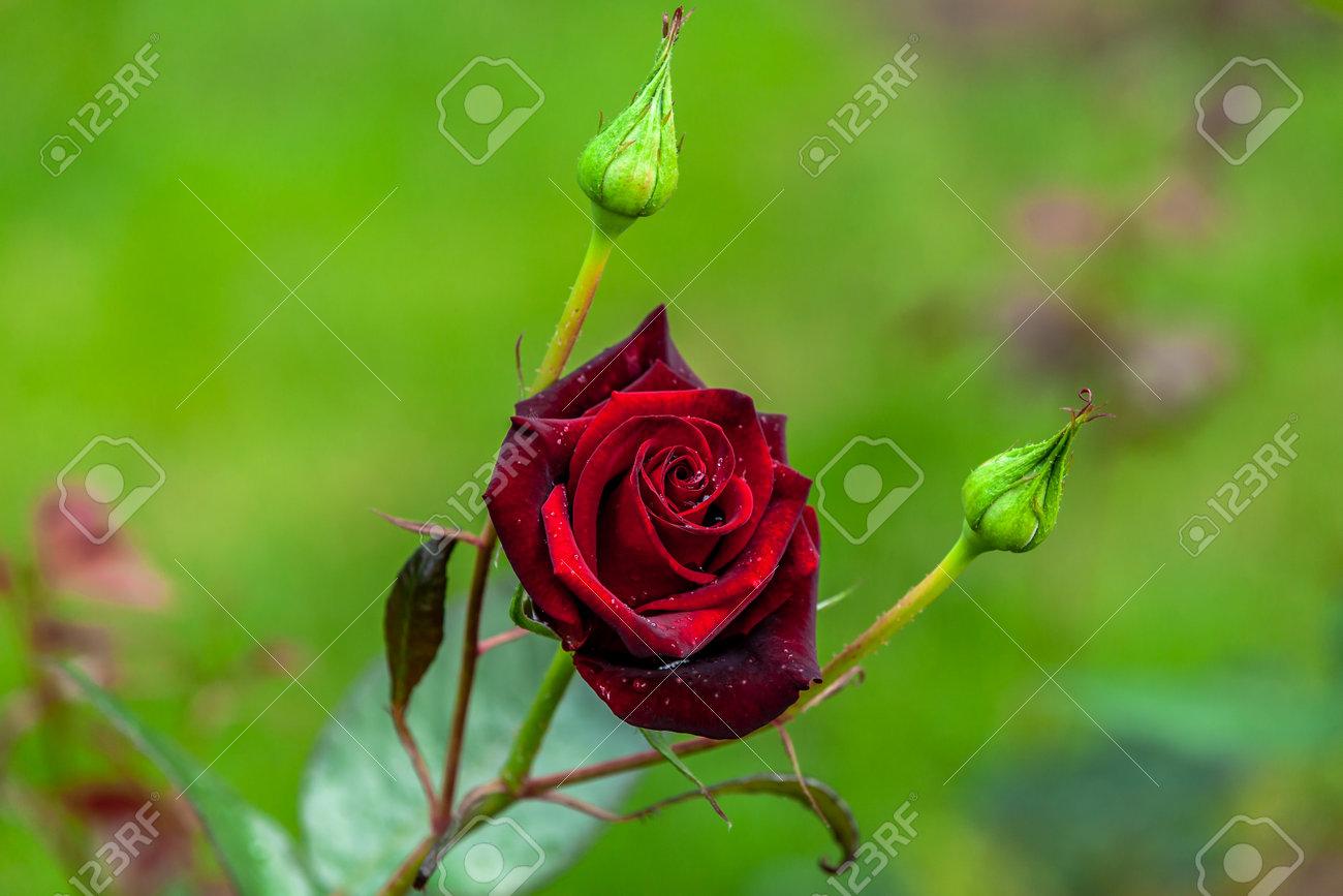 wet velvet rose with water drops - 162919053
