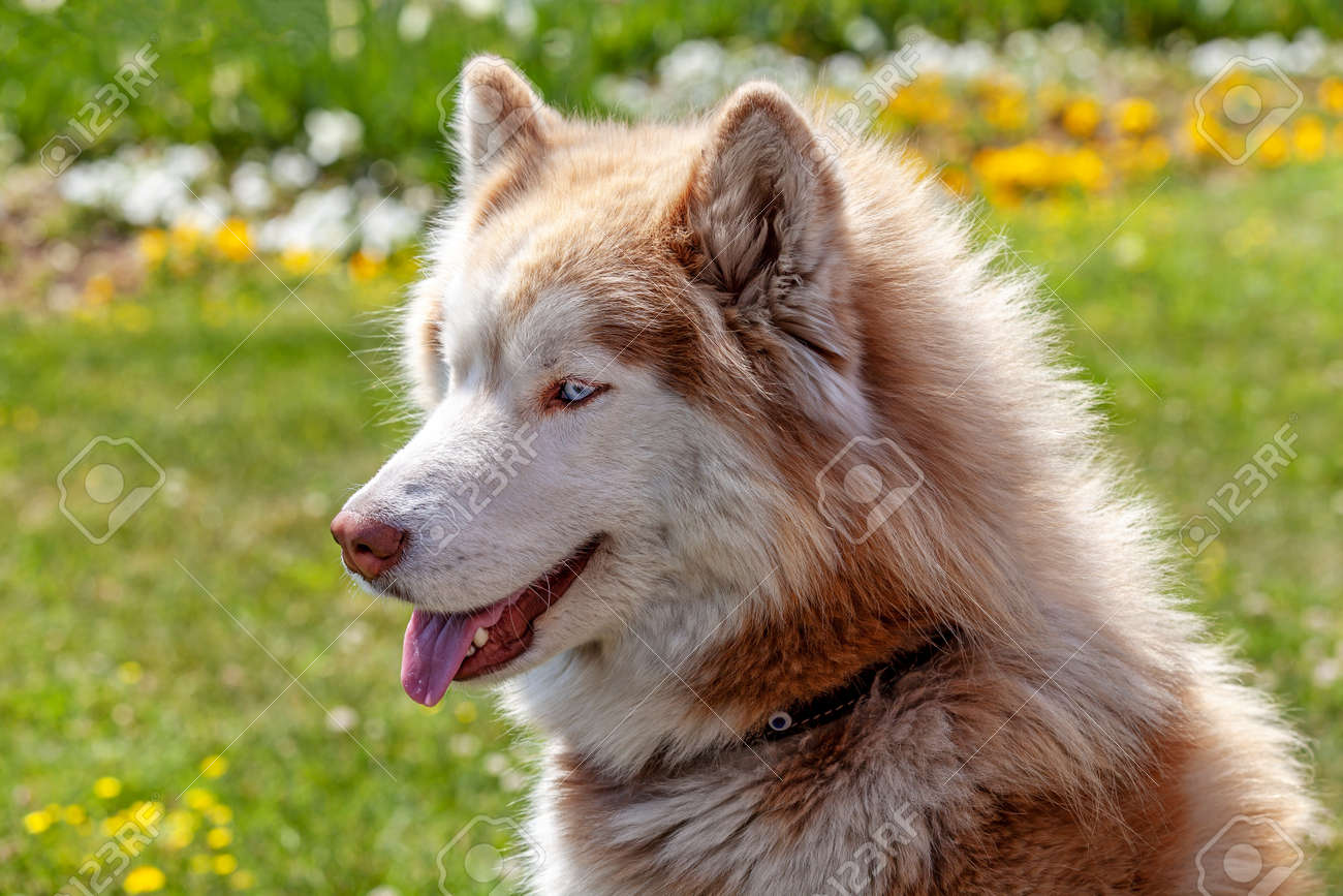 Lovely brown white husky dog standing on green lawn - 165921214