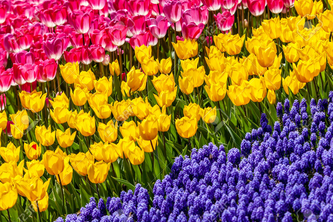 yellow, pink tulips and blue muscari spring flowers - 173222577