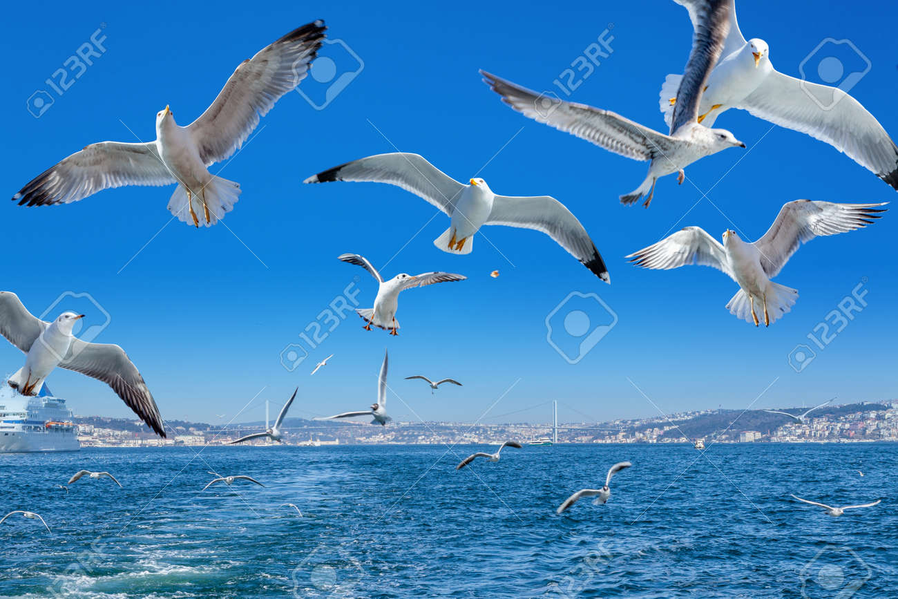 Seagulls following the ferry, Bosphorus bridge and cityscape, Istanbul - Turkey - 172752081