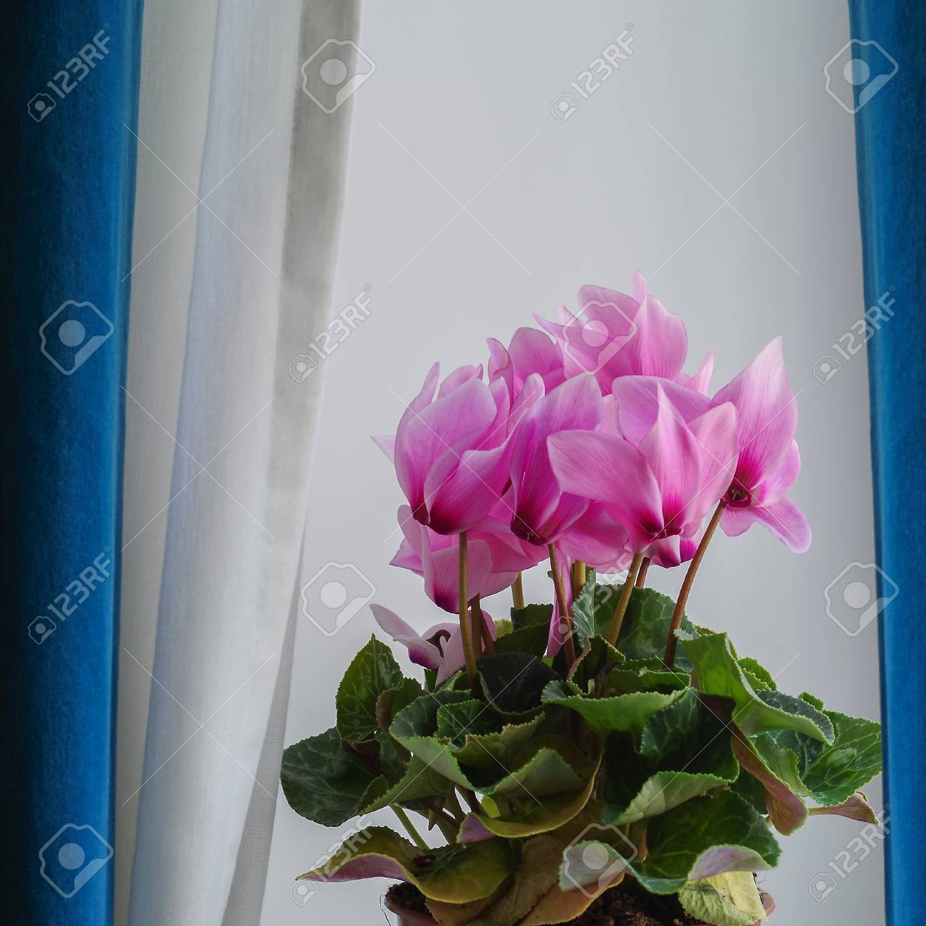 Cyclamen pink flowers with green leaves behind the curtains stock cyclamen pink flowers with green leaves behind the curtains stock photo 79540552 mightylinksfo