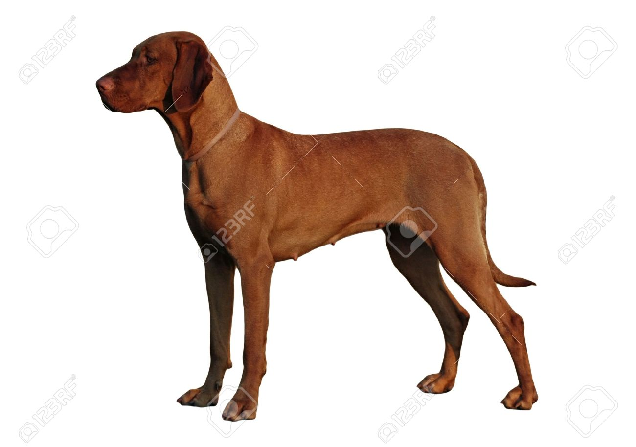 Isolated Hungarian Vizsla Standing Stock Photo, Picture And ...