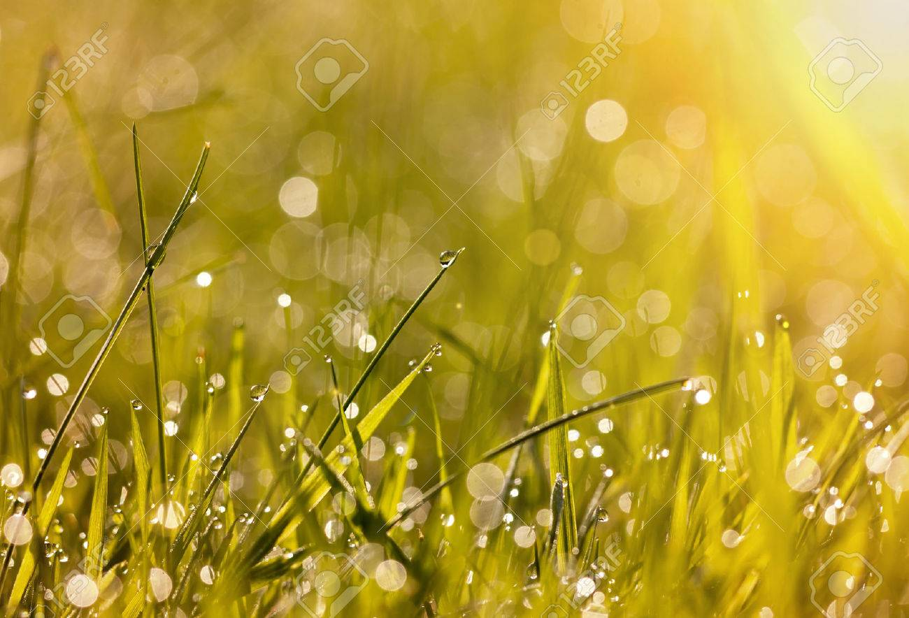 Morning Light >> Beautiful Dew Grass With Drops In The Morning Light