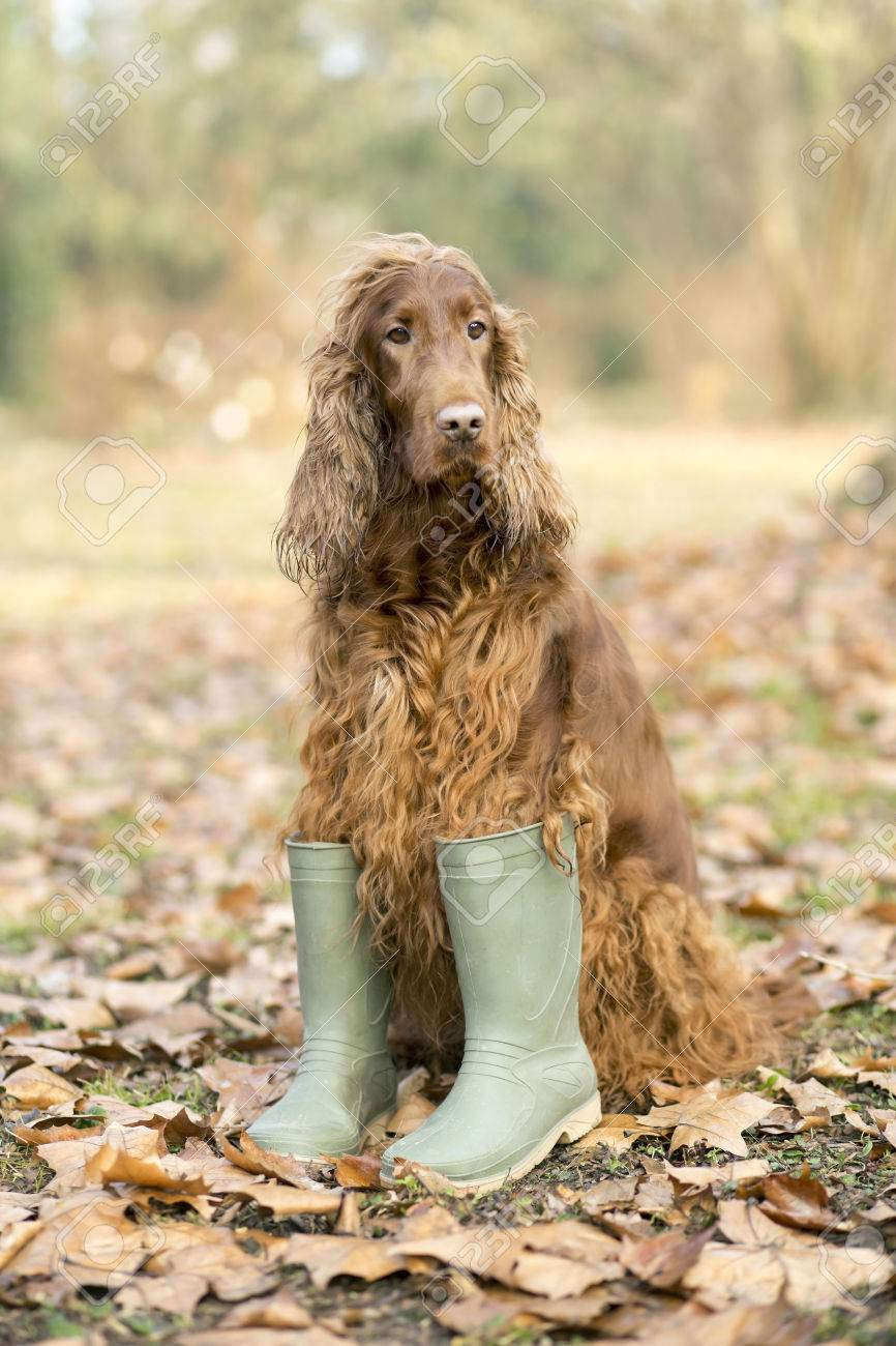 d3b540a7a0a Funny Irish Setter dog wearing rubber boots and sitting in the..