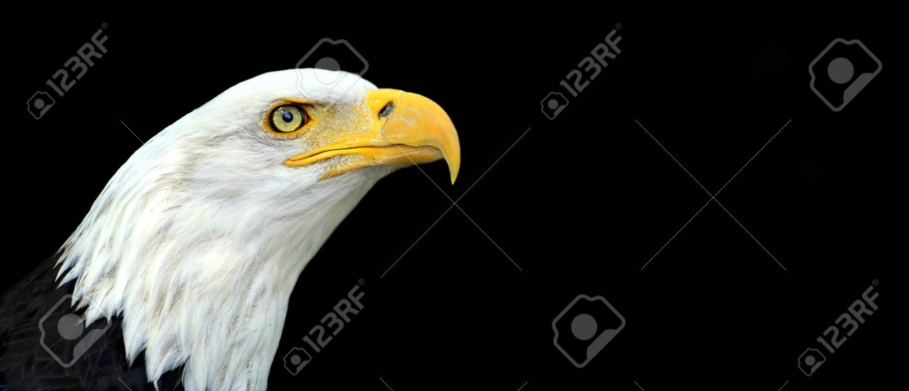 Website Banner Of An American Bald Eagle Portrait Stock Photo ...