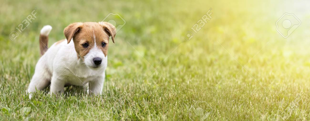 Cute Jack Russell Terrier Dog Puppy Doing His Toilet Web Banner Stock Photo Picture And Royalty Free Image Image 105027117