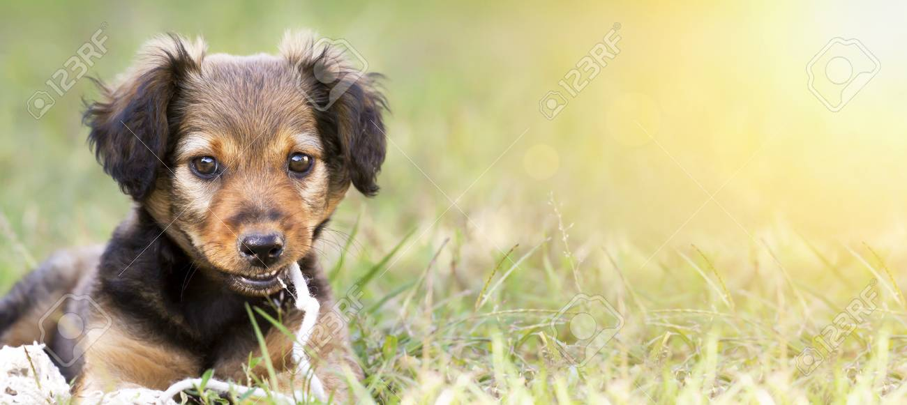 Funny Cute Pet Dog Puppy Smiling In The Grass Web Banner With Stock Photo Picture And Royalty Free Image Image 108731035