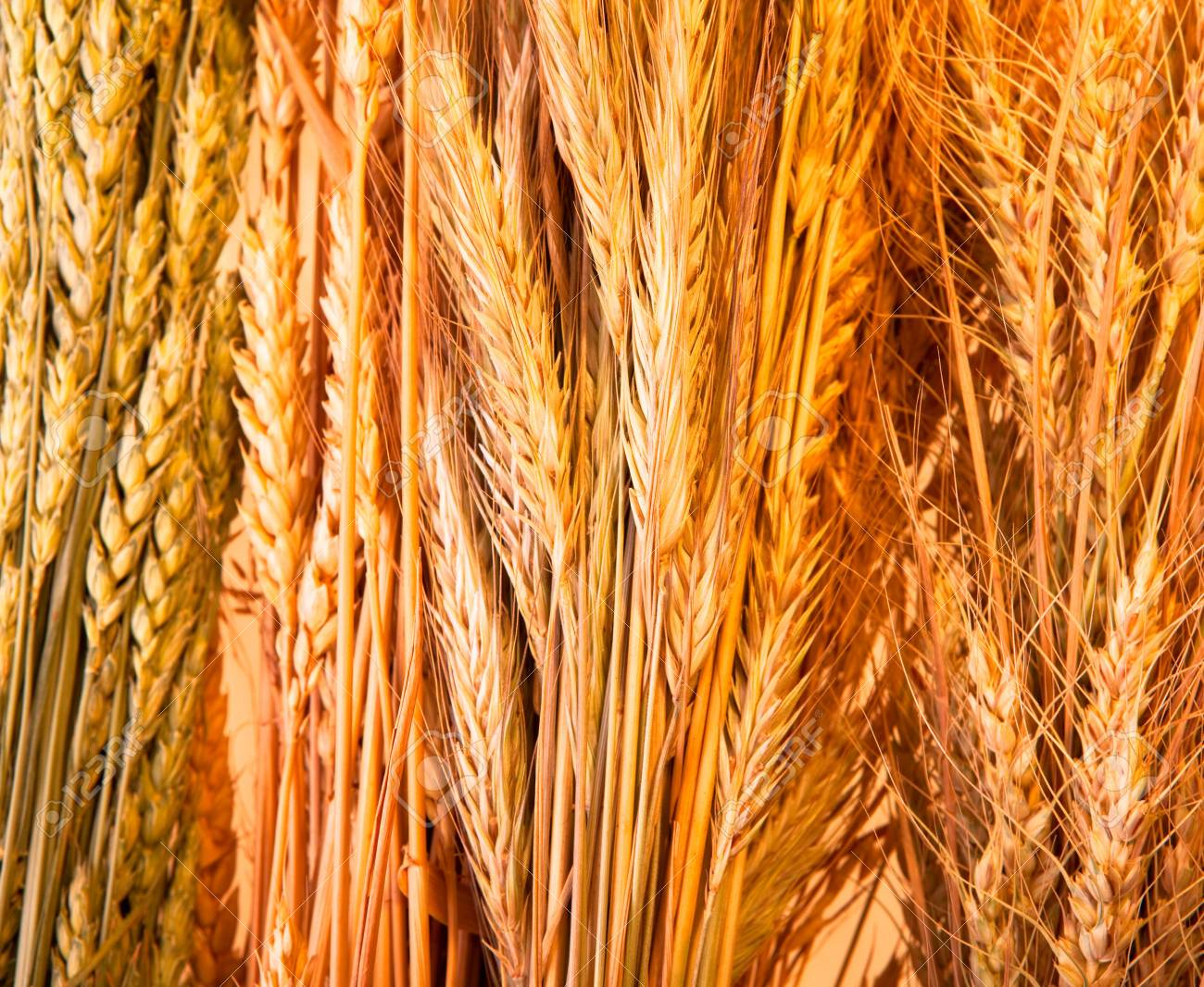 Golden wheat background Stock Photo - 5375394