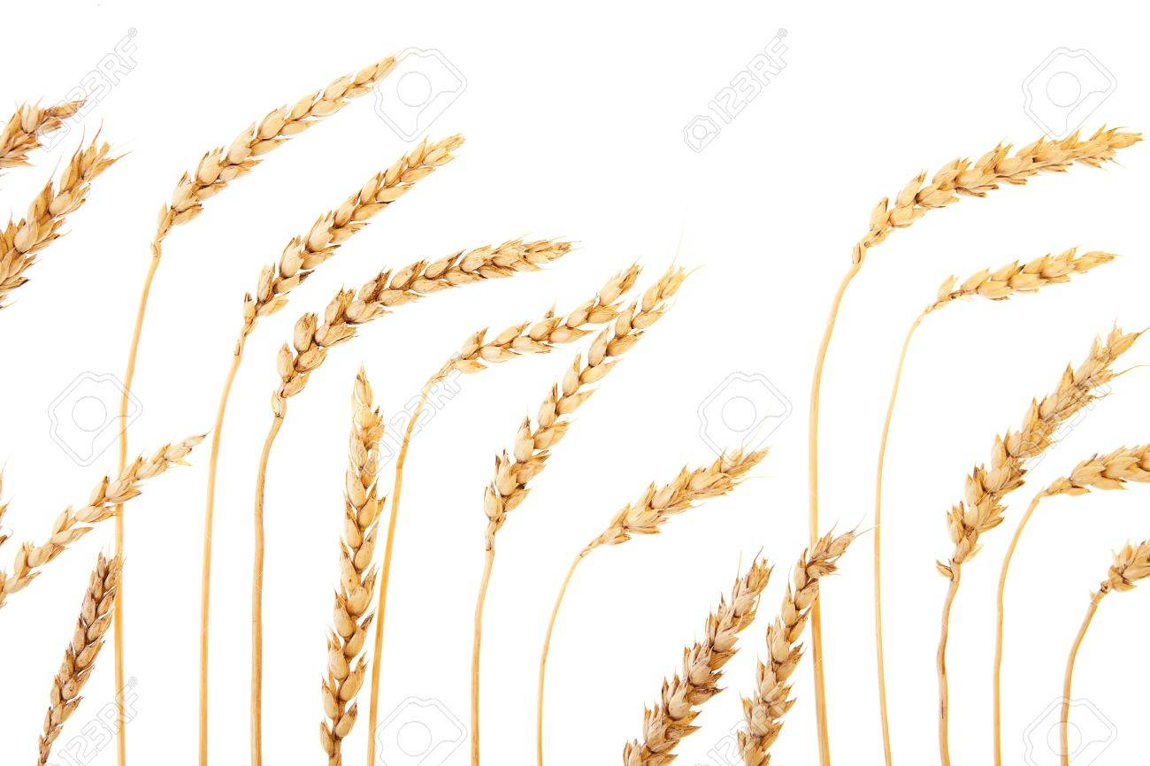 Golden wheat isolated on a white background. Stock Photo - 6780440