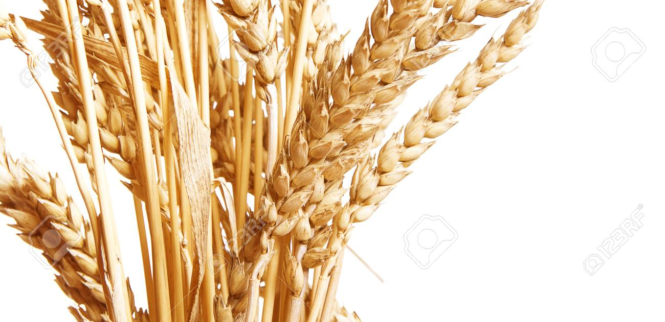 Golden wheat isolated on a white background. Stock Photo - 7495827