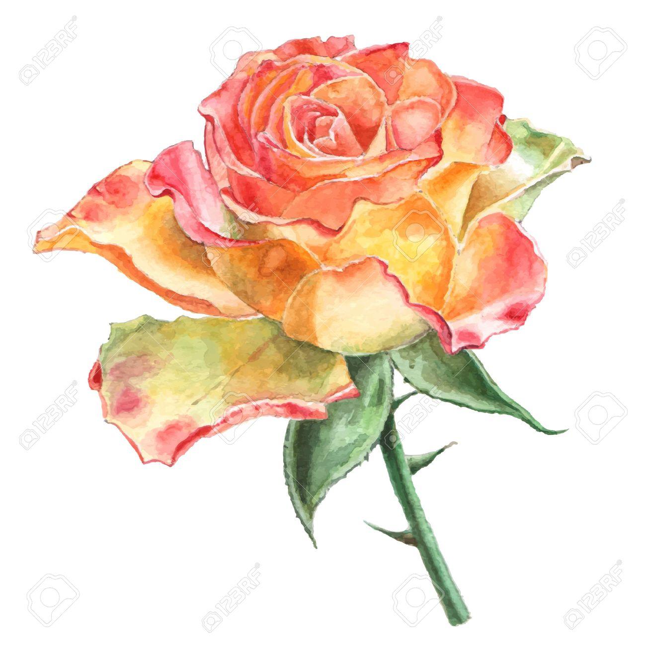 Rose Aquarelle Tire Par La Main Clip Art Libres De Droits
