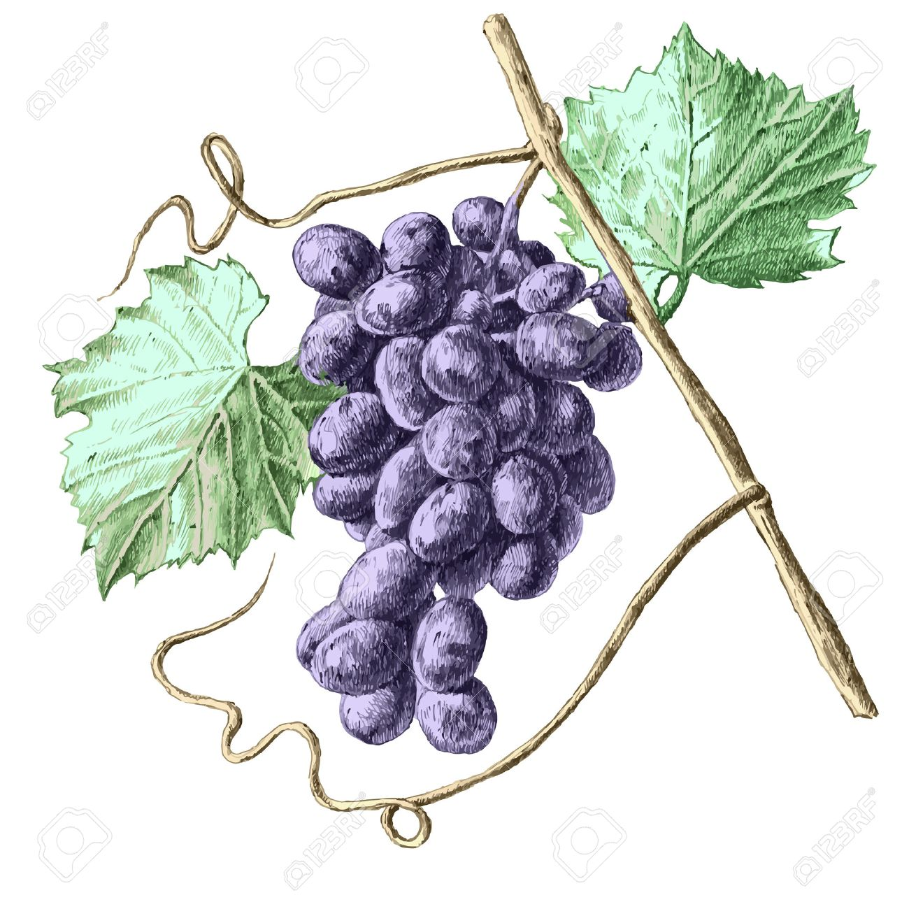 Garden Grapes: Illustration With Grapes And Leaves Hand Draw