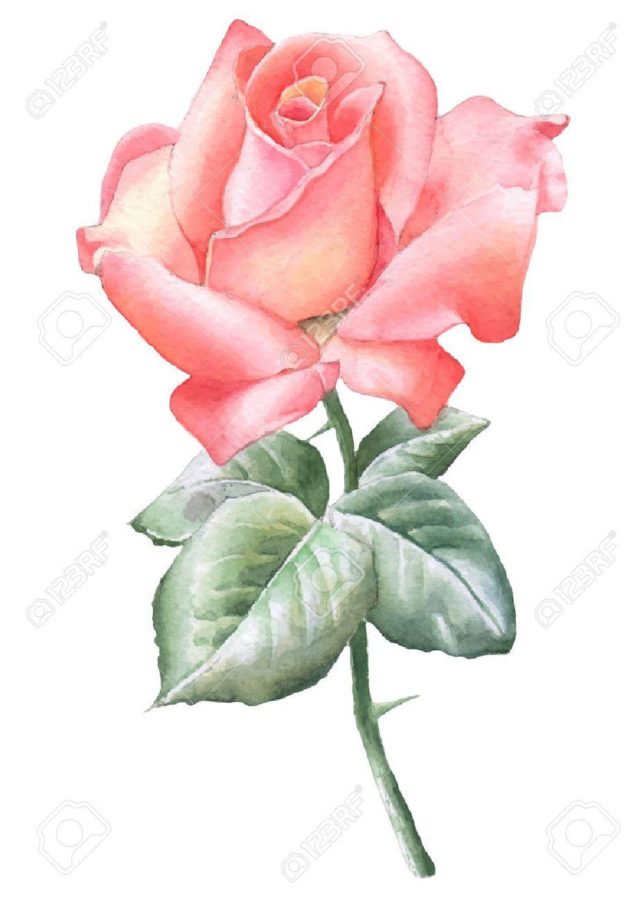 Illustration Avec Une Rose Rouge Vector Aquarelle Dessine A La