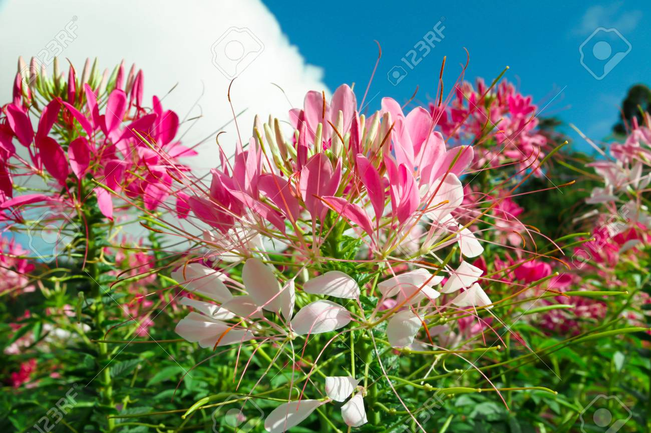 Many pink flowers are blooming with fresh green leaves behind many pink flowers are blooming with fresh green leaves behind the beautiful blue sky stock izmirmasajfo