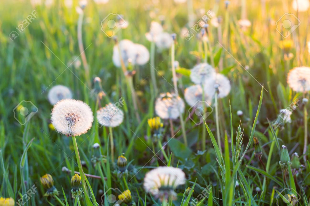 White Dandelion Flowers In Green Grass In Summer Garden In Sunset