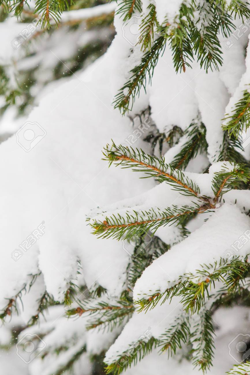 Green Christmas Tree Branches In White Snow Stock Photo Picture And