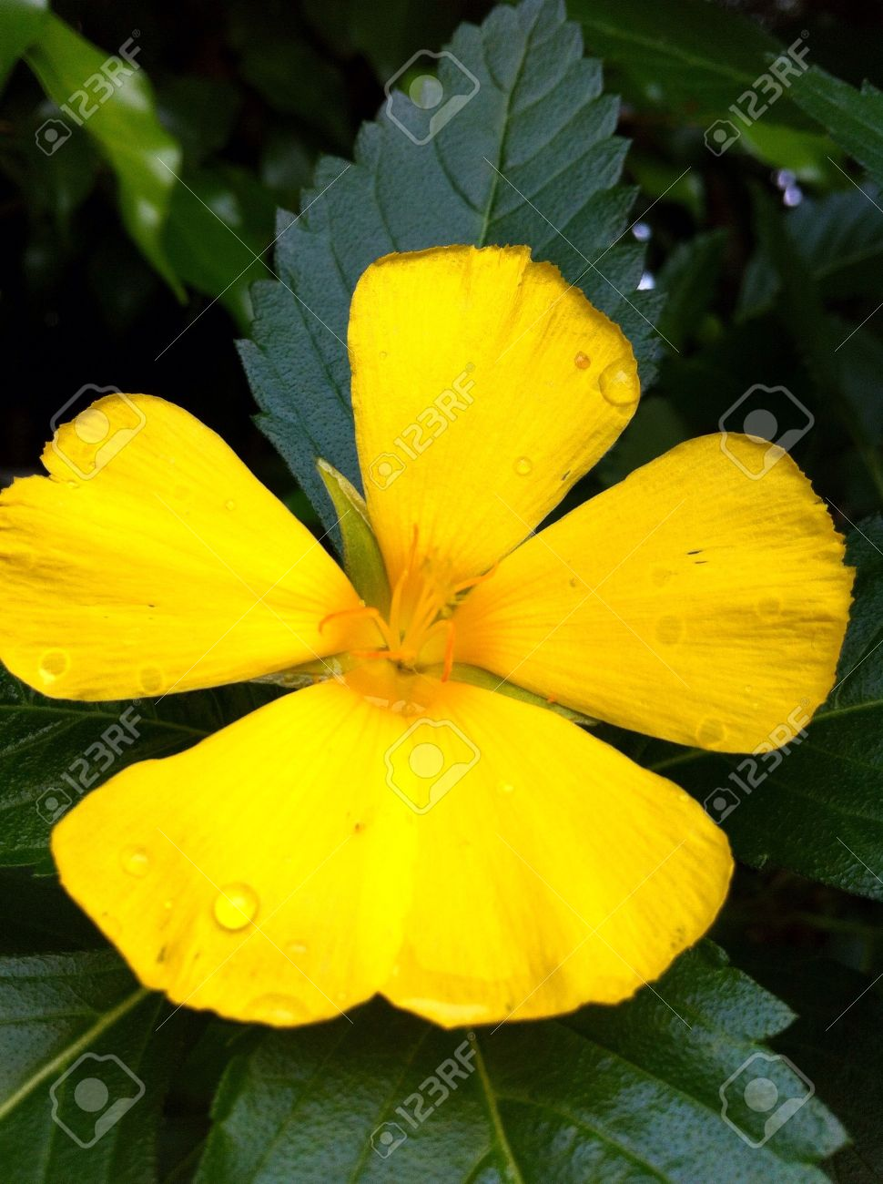 Yellow Flower With 5 Petals Stock Photo Picture And Royalty Free