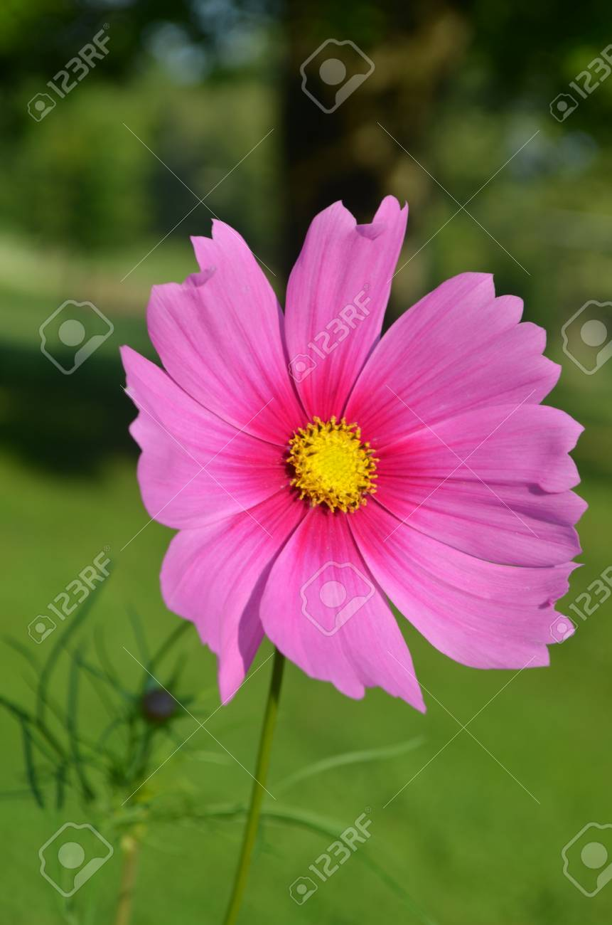 Giant Pink Cosmos Flower Open To The Sun Stock Photo Picture And