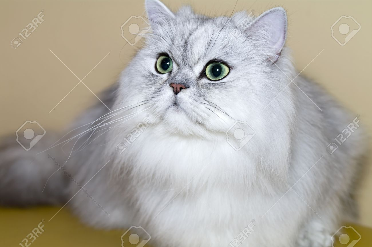 Portrait Grey Persian Cat Stock Picture And Royalty Free