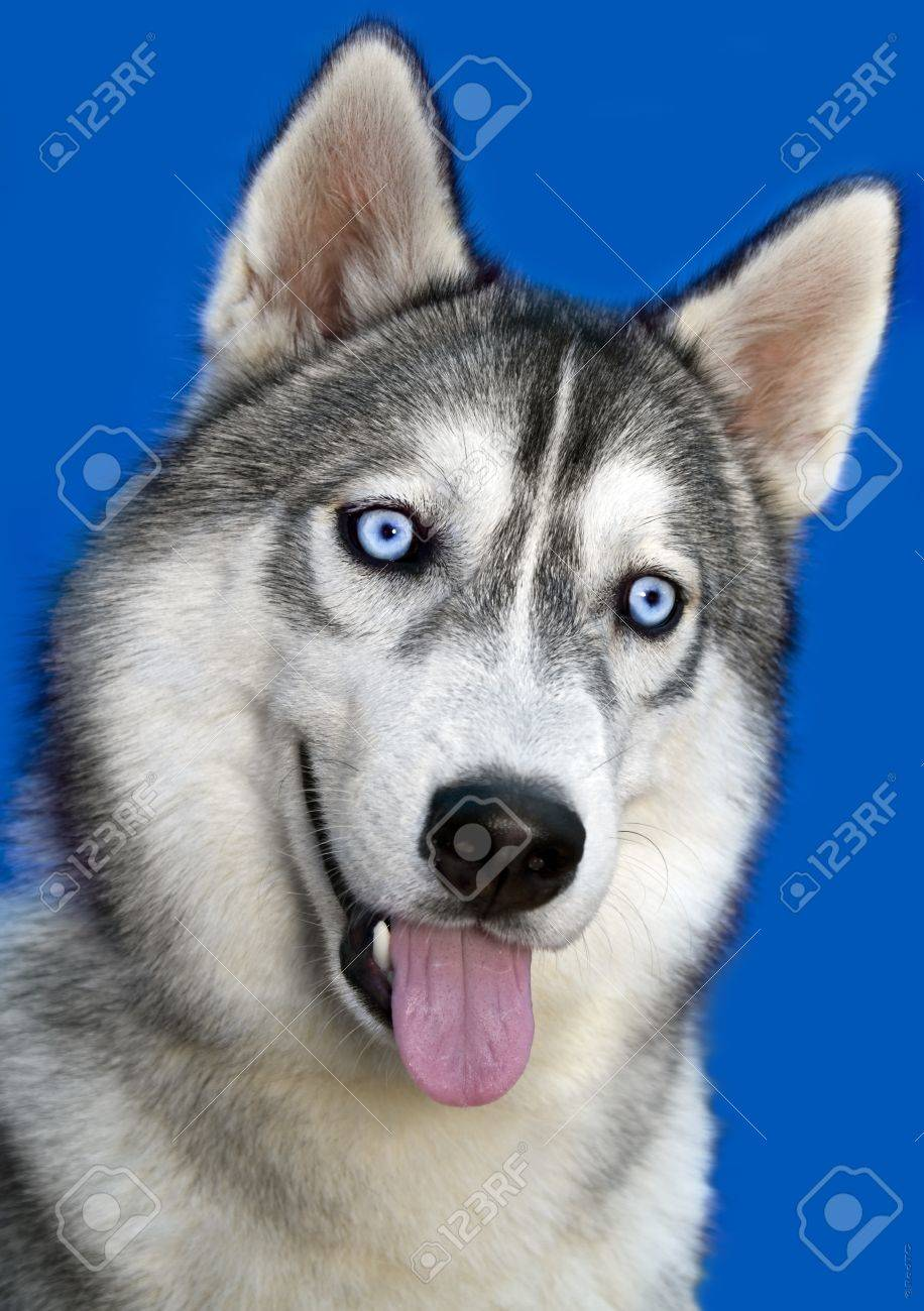 Portrait Siberian Rideable Husky With Blue Eyes On Dark Blue Stock Photo Picture And Royalty Free Image Image 10755678
