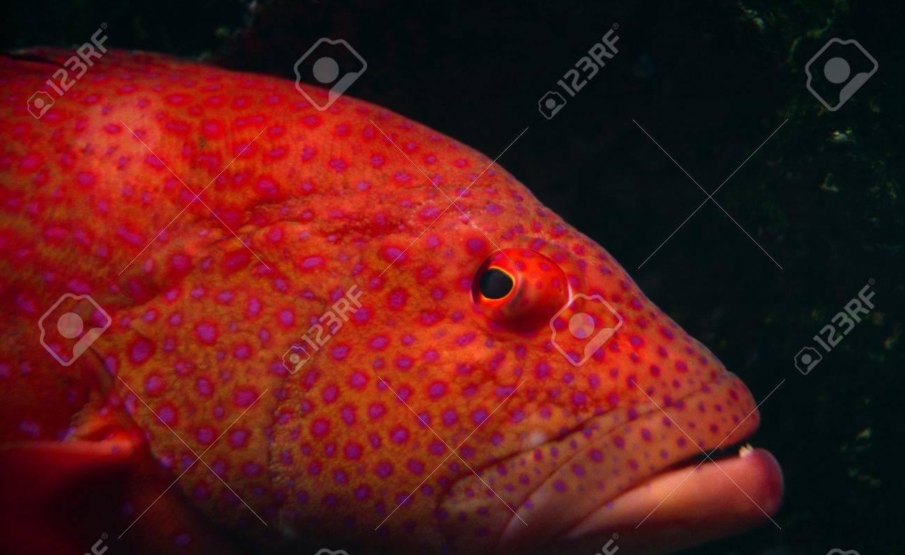 Fish aquarium red spots - Close Up Of Orange Tropical Fish With Pink Spots In An Aquarium Stock Photo 3727274