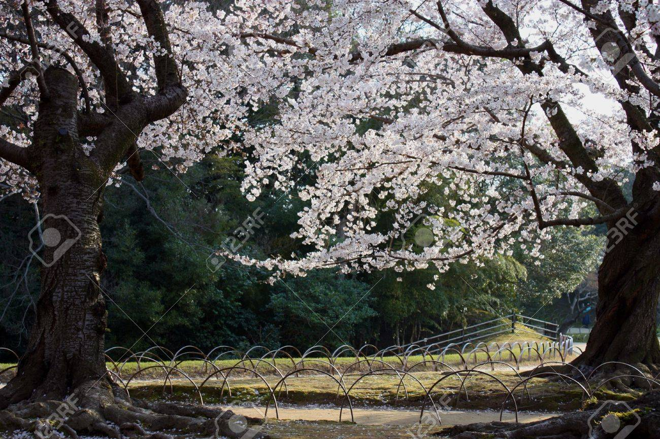 Two cherry blossom trees in a Japanese park Stock Photo - 4650196