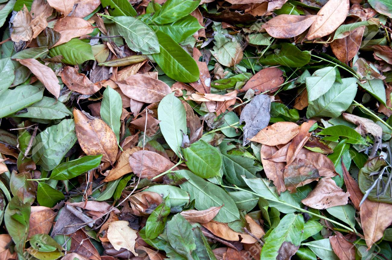 texture of green and brown dried leaves - 43271179