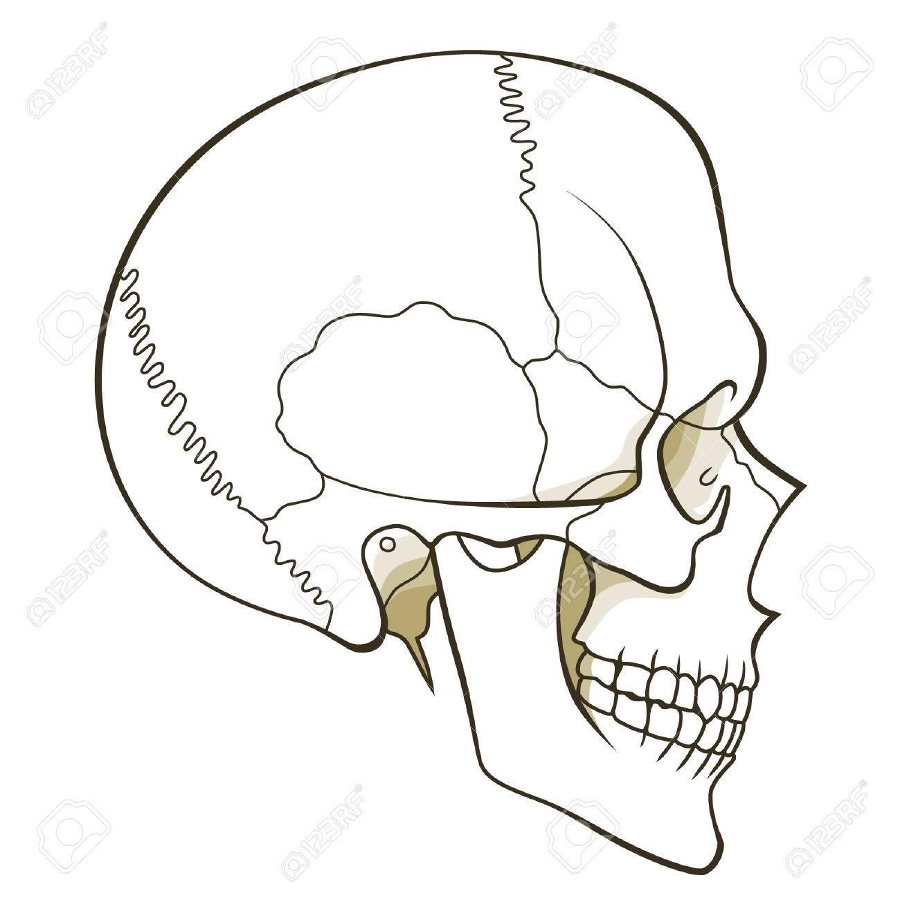 Perfil Cráneo Humano Ilustraciones Vectoriales, Clip Art Vectorizado ...