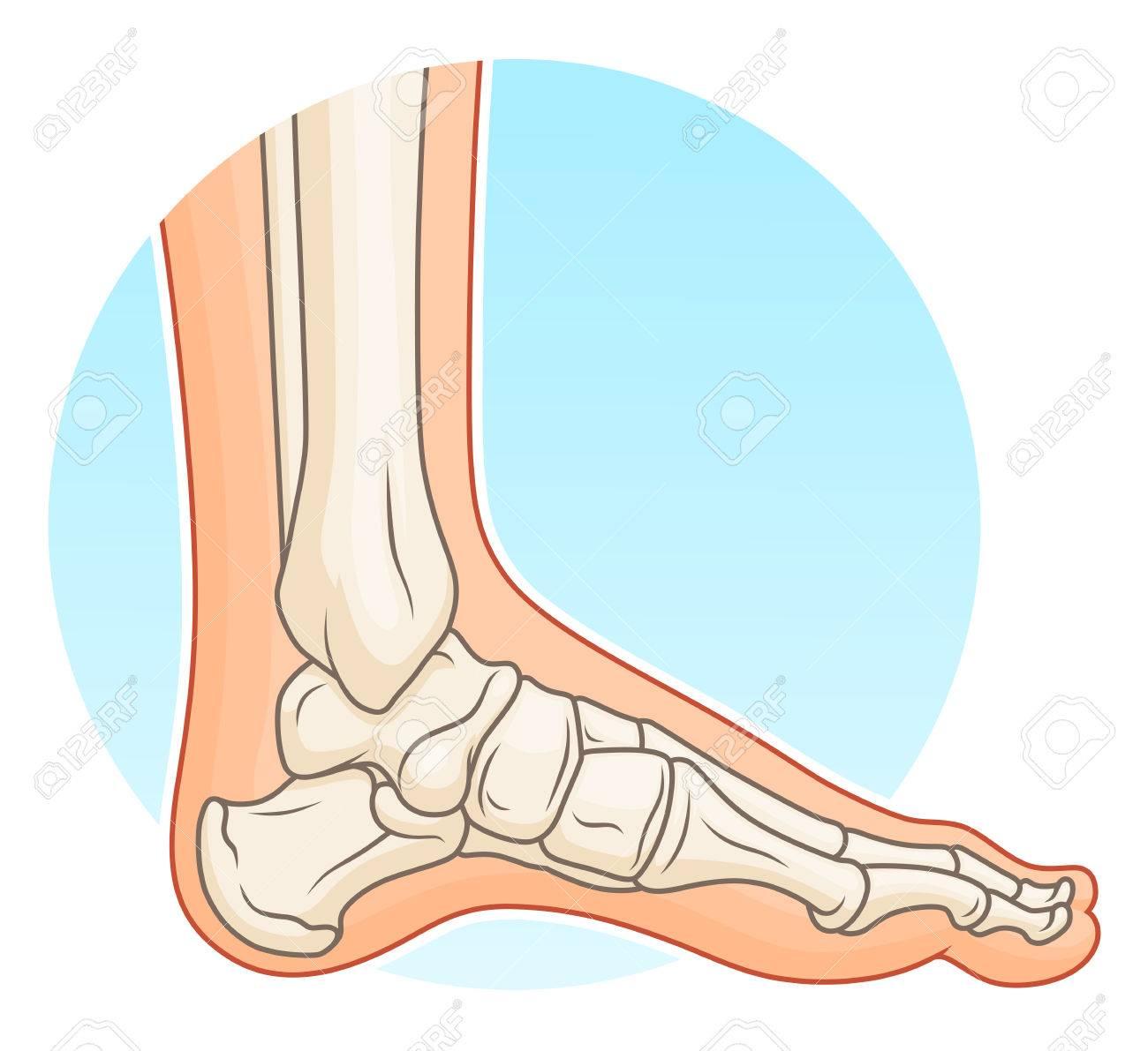 Pie Humano Con Huesos Ilustraciones Vectoriales, Clip Art ...