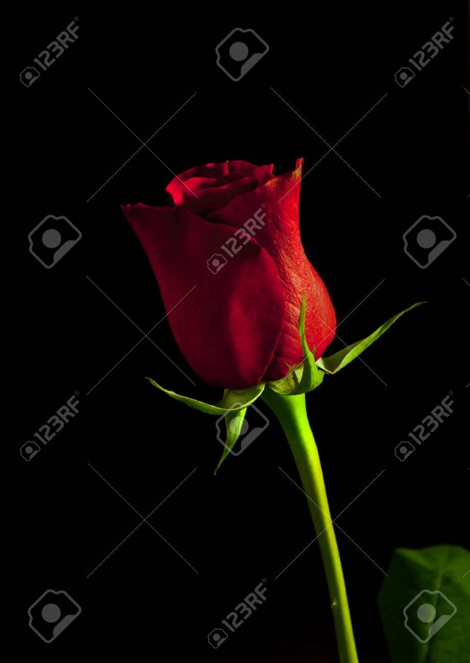 red rose on black background Stock Photo - 8915357