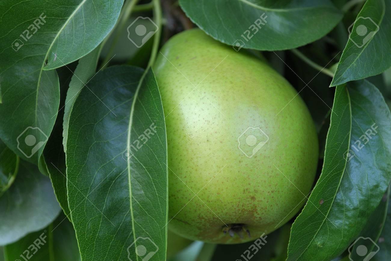 green bartlett pear growing in a backyard orchard stock photo