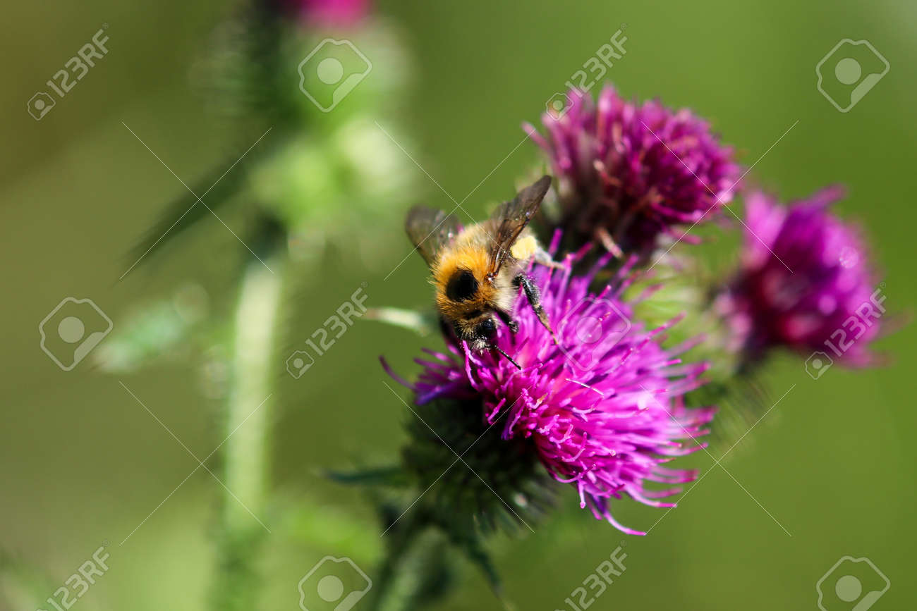 Bee takes nectar from purple thistle blossom - 155450169