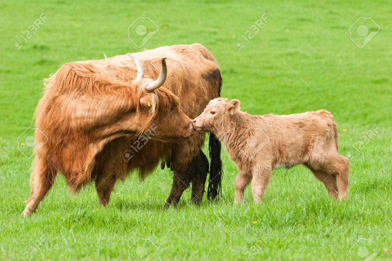highland cow kissing calf in green field stock photo picture and