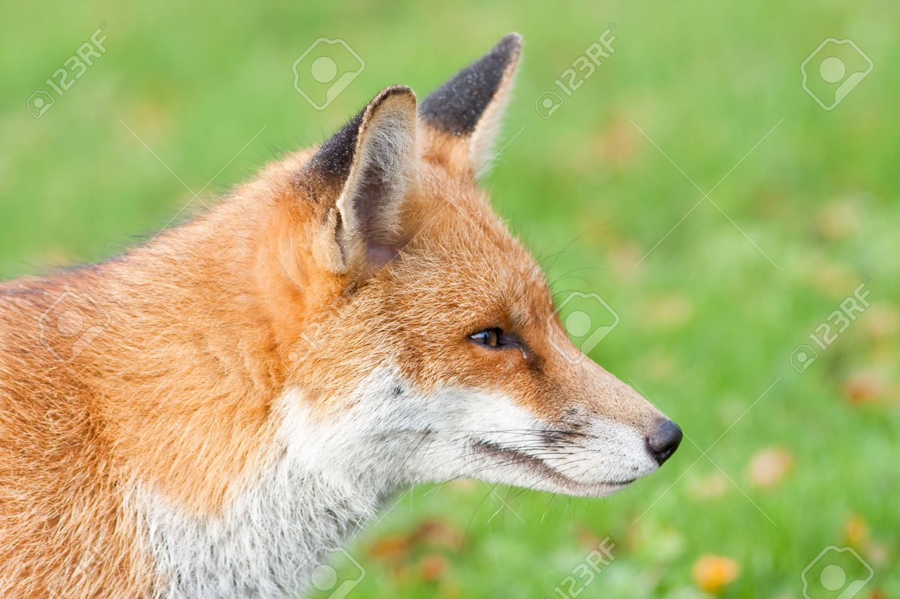 Close Up Of Red Fox Head With Green Backround Stock Photo Picture And Royalty Free Image Image 7509842