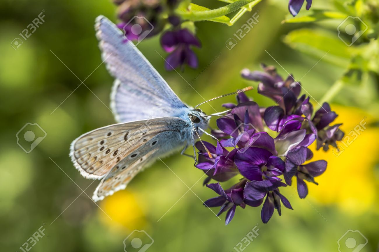 A Common Blue on a flower Stock Photo - 50037371