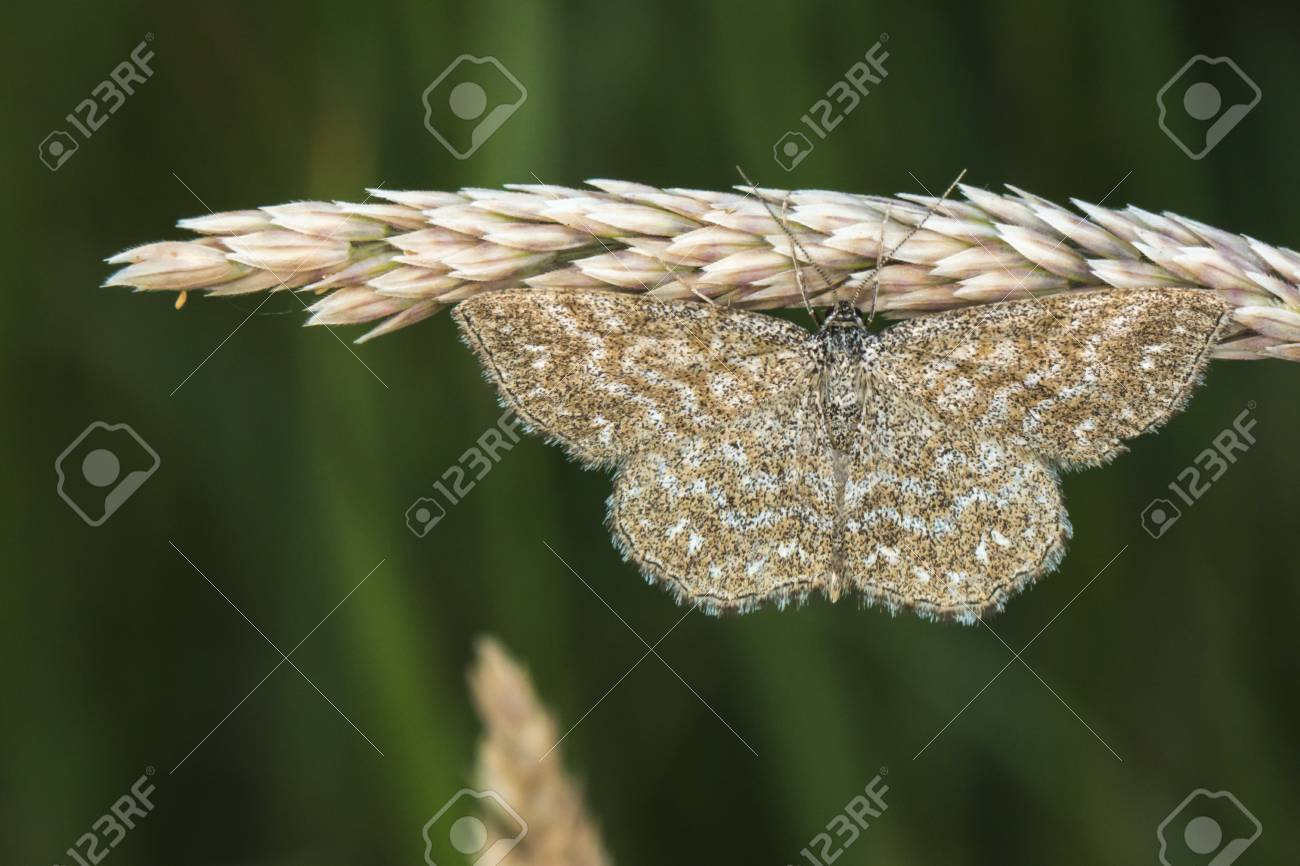 A lewes moth is sitting on a grass-stock Stock Photo - 81272967