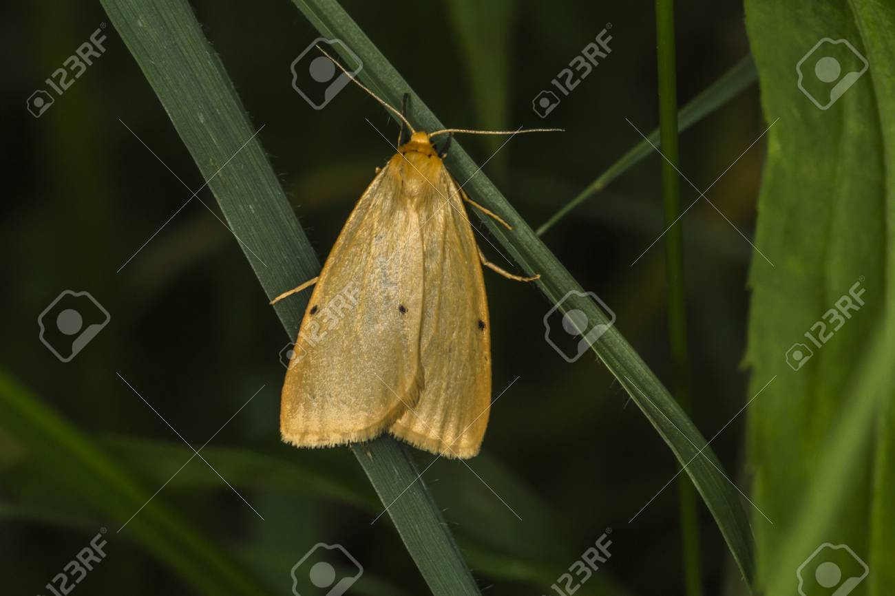 A four-dotted footman is sitting on a grass-stock Stock Photo - 81272968