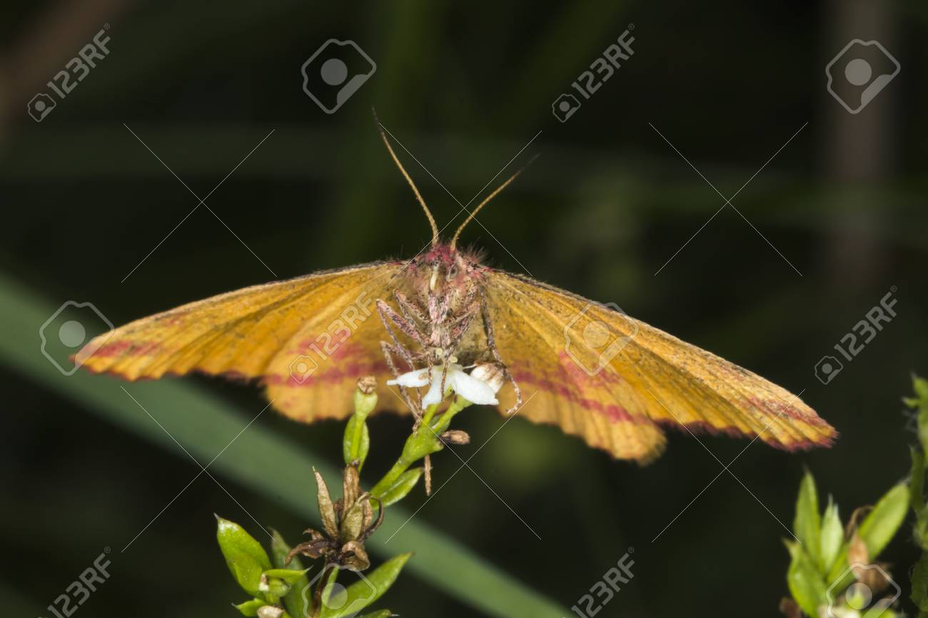 A purple-barred yellow is sitting on a grass-stock Stock Photo - 81272970